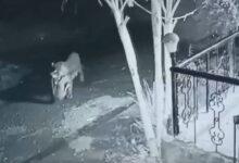 صورة فهد يخطف كلباً نائماً من أمام منزل