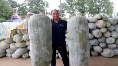 صورة بطيخ عملاق بوزن 90 كيلوغراماً في الصين